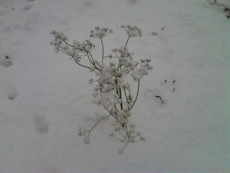 Укроп в снегу