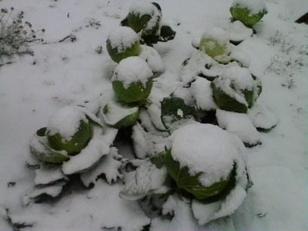 Капуста в снегу